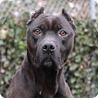 Adopt A Pet :: Panther - Port Washington, NY