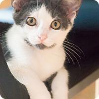 Adopt A Pet :: Fitz - Chicago, IL