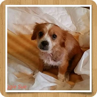 Cavalier King Charles Spaniel/English Toy Spaniel Mix Dog for adoption in Weeki Wachee, Florida - Maggie Sue
