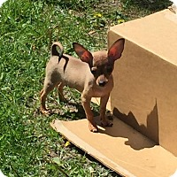 Adopt A Pet :: Ears - Fort Wayne, IN