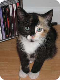 Calico Kitten for adoption in Lighthouse Point, Florida - Tara