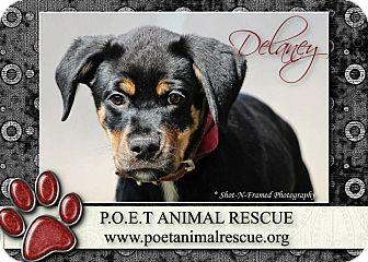 Rottweiler Mix Puppy for adoption in Garden City, Michigan - Delaney