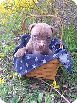 American Pit Bull Terrier Mix Puppy for adoption in Roaring Spring, Pennsylvania - Male # 4