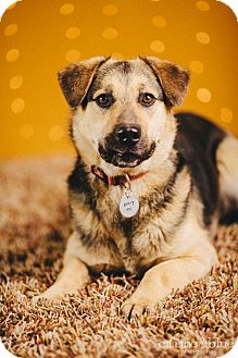German Shepherd Dog Mix Dog for adoption in Portland, Oregon - Koa