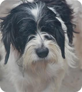 Schnauzer (Standard) Mix Dog for adoption in Norwalk, Connecticut - Magnolia