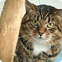 Domestic Mediumhair Cat for adoption in Anderson, Indiana - Frank