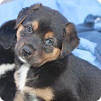 Adopt A Pet :: Daphney - La Habra Heights, CA