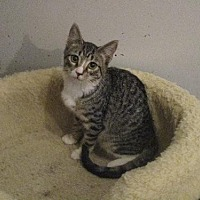 Domestic Shorthair Cat for adoption in St. Louis, Missouri - Kit