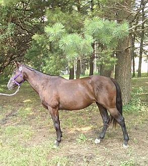 Quarterhorse Mix for adoption in Dewey, Illinois - Abby