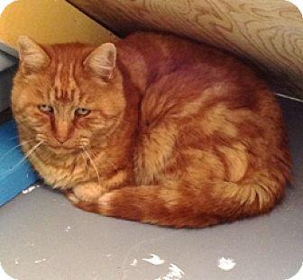 Domestic Shorthair Cat for adoption in Fort Benton, Montana - Bernie