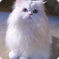 Adopt A Pet :: Miu - Davis, CA