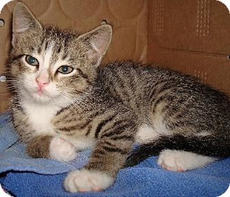 Domestic Shorthair Kitten for adoption in Lansing, Kansas - Pippa