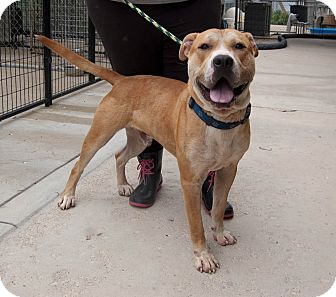 American Staffordshire Terrier Mix Dog for adoption in Martinsville, Indiana - Sam