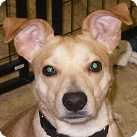 Labrador Retriever/Parson Russell Terrier Mix Dog for adoption in Coventry, Connecticut - Topper