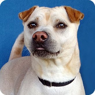 Shar Pei Mix Dog for adoption in Renfrew, Pennsylvania - Blake