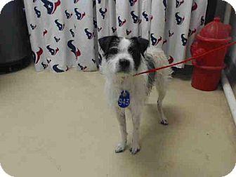 Border Collie/Schnauzer (Standard) Mix Dog for adoption in West Warwick, Rhode Island - Benny