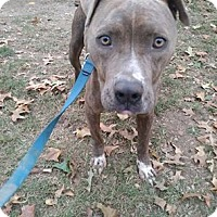 American Pit Bull Terrier/American Staffordshire Terrier Mix Dog for adoption in Covington, Tennessee - Dodger