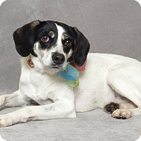 Beagle/Terrier (Unknown Type, Small) Mix Dog for adoption in Kerrville, Texas - Peach