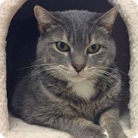 Domestic Shorthair Cat for adoption in Knoxville, Tennessee - Sausha - FREE TO GOOD HOME