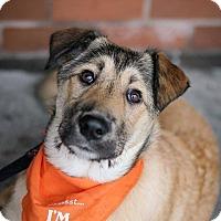 Adopt A Pet :: Stella - Pitt Meadows, BC