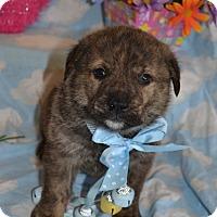 Adopt A Pet :: Cornelius (The Tar Heel Group) - Alexandria, VA