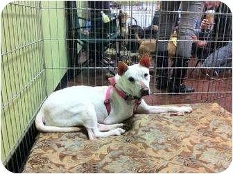 Basenji/Shiba Inu Mix Dog for adoption in los Angeles, California - Snow