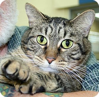 Domestic Shorthair Cat for adoption in Asheville, North Carolina - Ringo