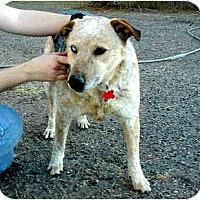 Adopt A Pet :: Ralphie - Scottsdale, AZ