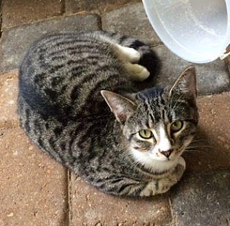 Domestic Mediumhair Cat for adoption in Thibodaux, Louisiana - Sparks FE1-9385