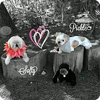 "Shih Tzu/Maltese Mix Dog for adoption in Seattle, Washington - smart Pickle""Blind inSanDiego"