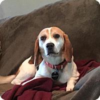 Adopt A Pet :: Bullet - Rexford, NY