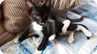 Domestic Shorthair Kitten for adoption in Montello, Wisconsin - Maestro
