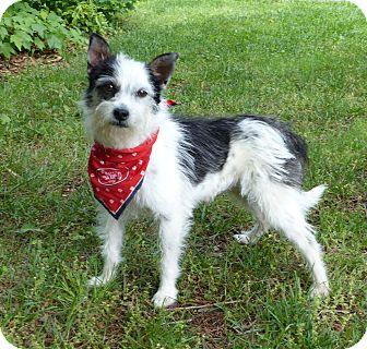 Fox Terrier (Wirehaired)/Norfolk Terrier Mix Dog for adoption in Mocksville, North Carolina - Addie