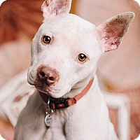 Adopt A Pet :: Charlie Brown - Portland, OR