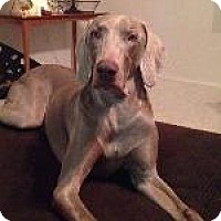 Weimaraner Dog for adoption in Fayetteville, Arkansas - Riley
