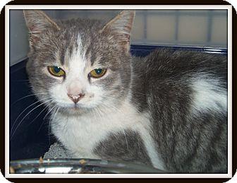 Domestic Shorthair Cat for adoption in Medford, Wisconsin - SAMUEL
