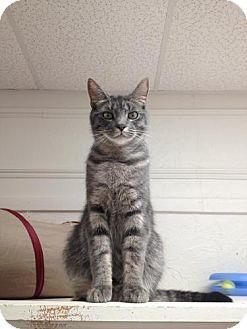 Domestic Shorthair Cat for adoption in Webster, Massachusetts - Fonzie