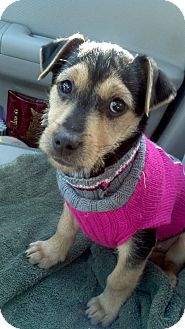 Jack Russell Terrier Puppy for adoption in Plainfield, Illinois - Daphne