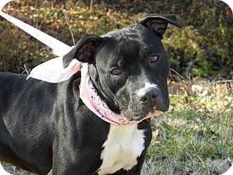 Staffordshire Bull Terrier Mix Dog for adoption in Princeton, Kentucky - Bashful