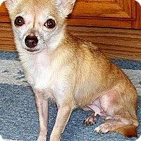 Adopt A Pet :: VELVETTE - AUSTIN, TX