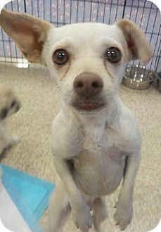 Chihuahua Mix Dog for adoption in Longview, Washington - SISSY