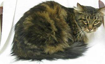 Domestic Mediumhair Cat for adoption in Gary, Indiana - Dutch