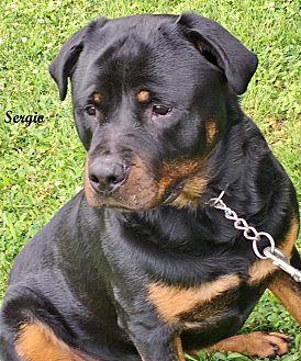 Rottweiler Dog for adoption in Darlington, Maryland - Sergio