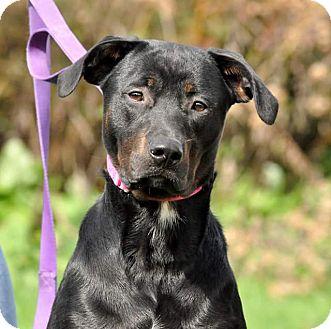 Rottweiler/Labrador Retriever Mix Dog for adoption in Lisbon, Ohio - Xavier