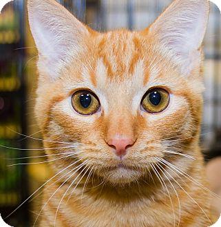 Domestic Shorthair Kitten for adoption in Irvine, California - Buddy Love