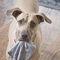 Weimaraner/Hound (Unknown Type) Mix Dog for adoption in Kingwood, Texas - Samantha