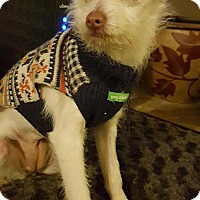 Terrier (Unknown Type, Small)/Chihuahua Mix Puppy for adoption in San Diego, California - Mia