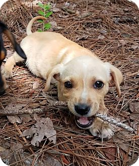 Labrador Retriever/Rottweiler Mix Puppy for adoption in Groton, Massachusetts - Sandy