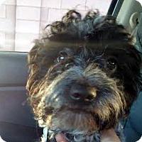 Adopt A Pet :: Bodhi - Las Vegas, NV