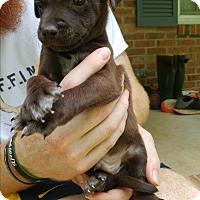 Labrador Retriever Mix Puppy for adoption in Monroe, North Carolina - Reggie